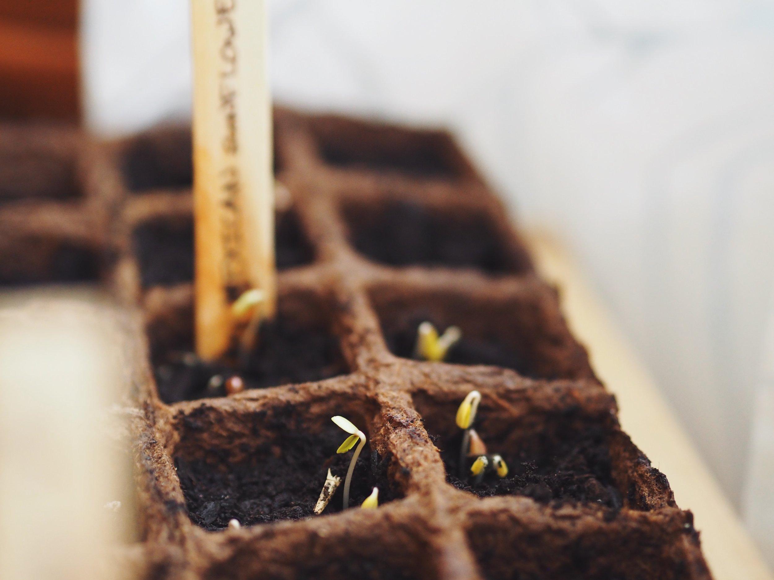 Indoor-Seeds-7.JPG