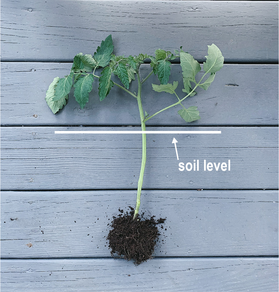 Successfully Growing Tomatos-02.jpg