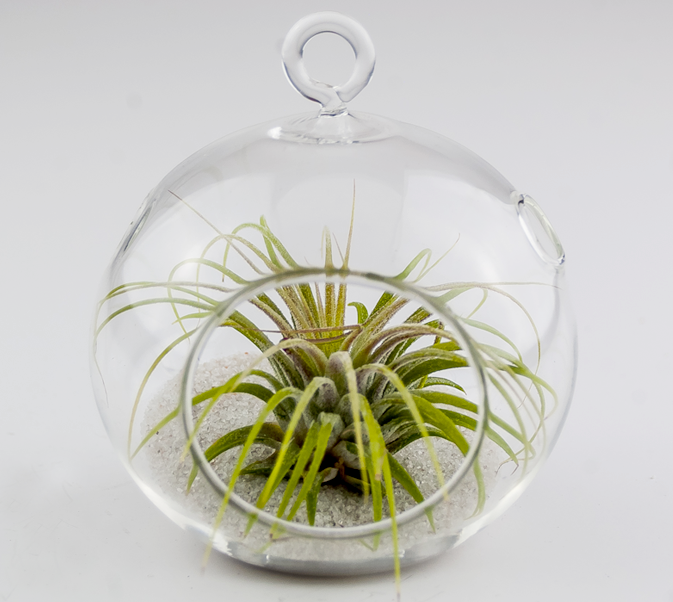 TERRARIUMS - Click here to design your custom terrarium! Choose the glass style, sand color and top with 2 beautiful ionantha air plants!