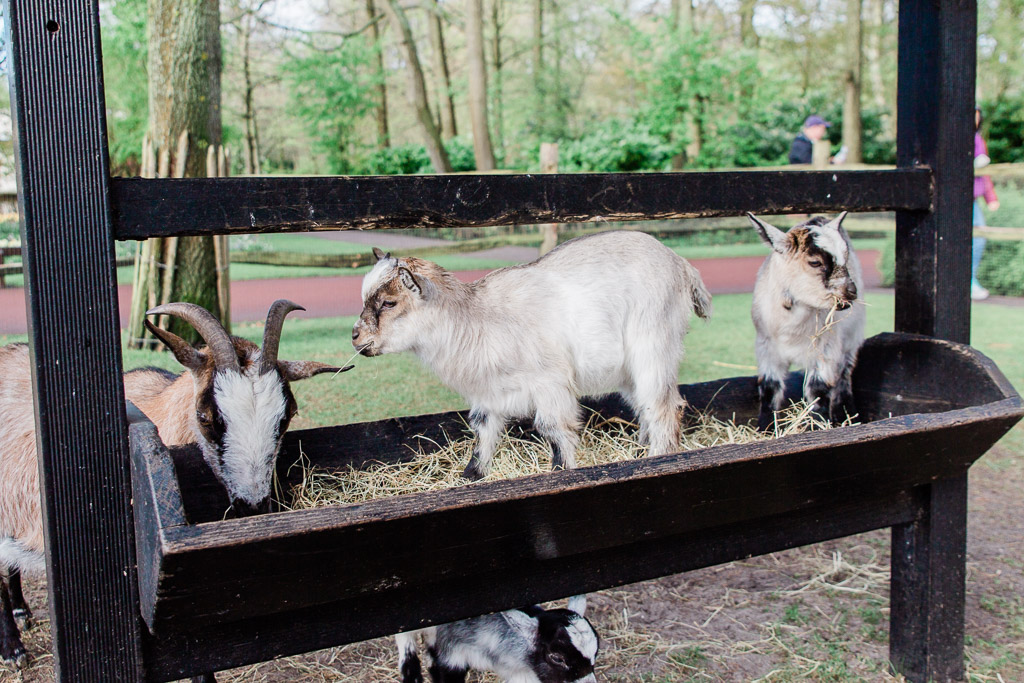 Two baby goats standing in food trough of hay with larger goat eating out of the trough in a petting zoo.
