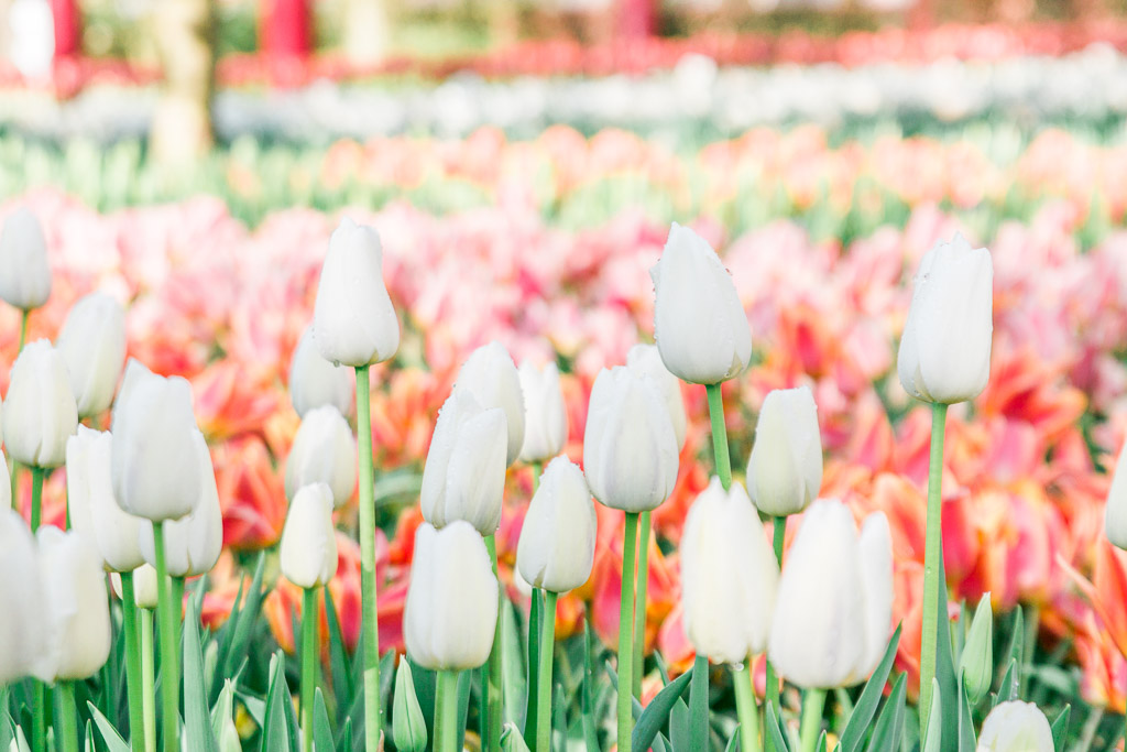 Up close picture of white tulips in foreground with orange and pink tulips in the background