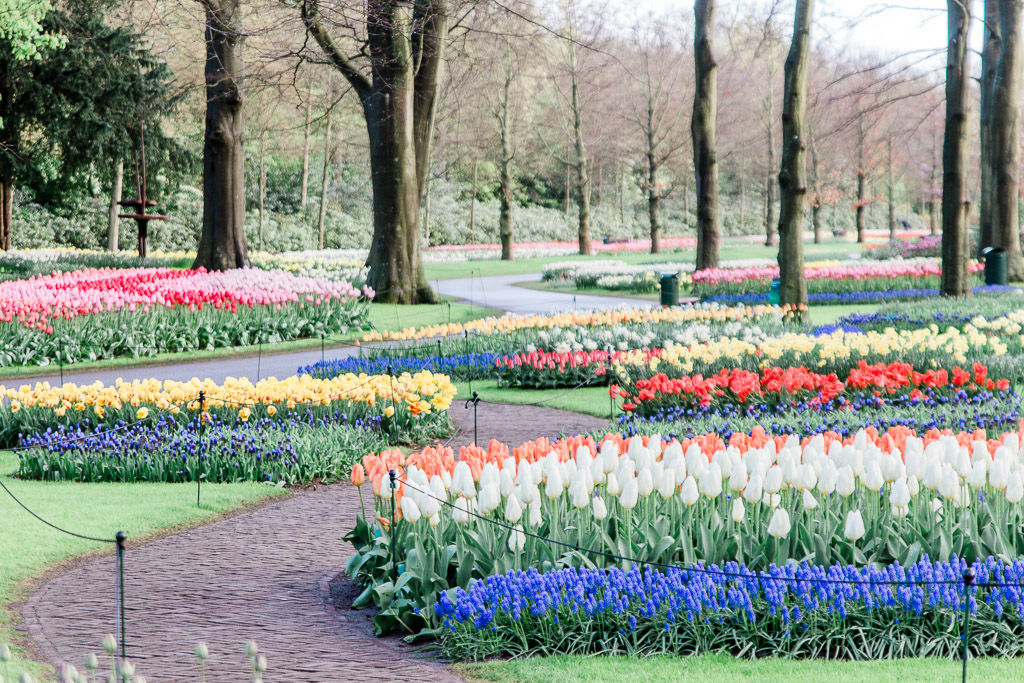 Different brightly colored tulips in manicured garden with empty walking paths.