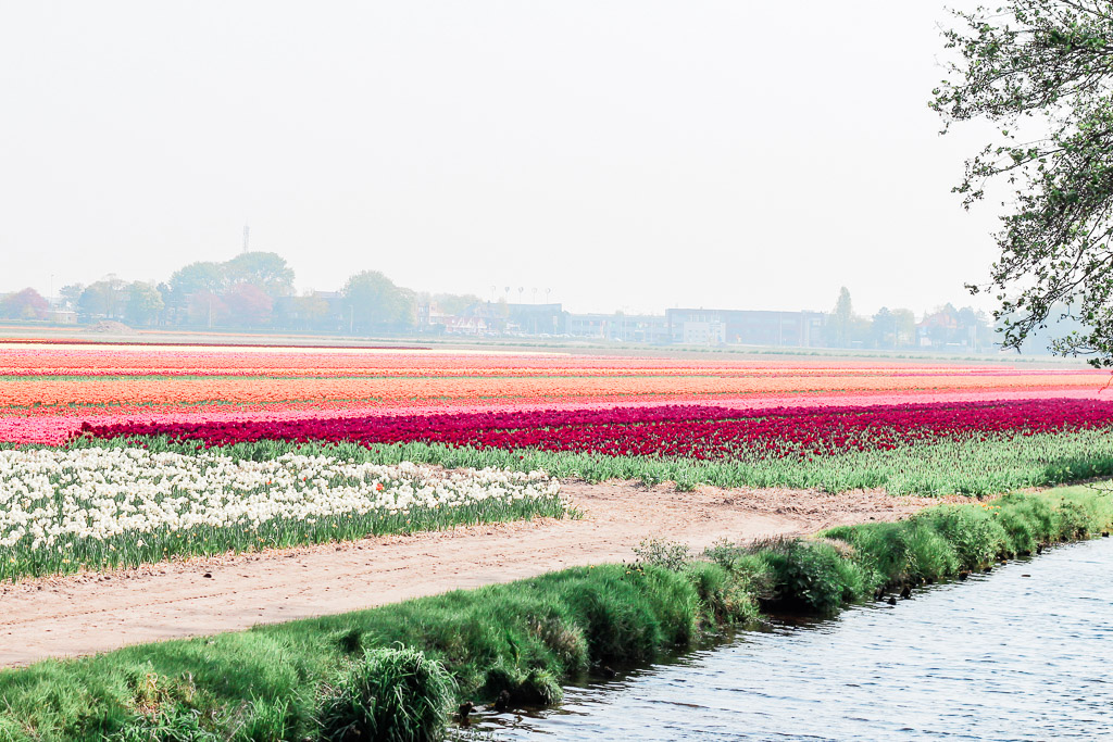 View of part of a canal in front of colorful tulip fields.