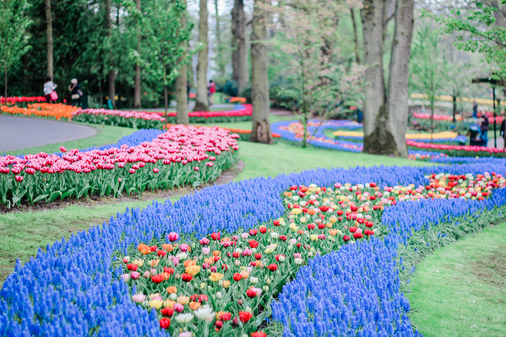 Colorful flower beds planted to look like a river of blue flowers in the Keukenhof flower garden.