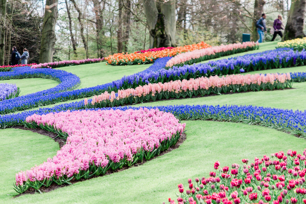 Pink and blue flowers growing in curvy designs in flower garden.