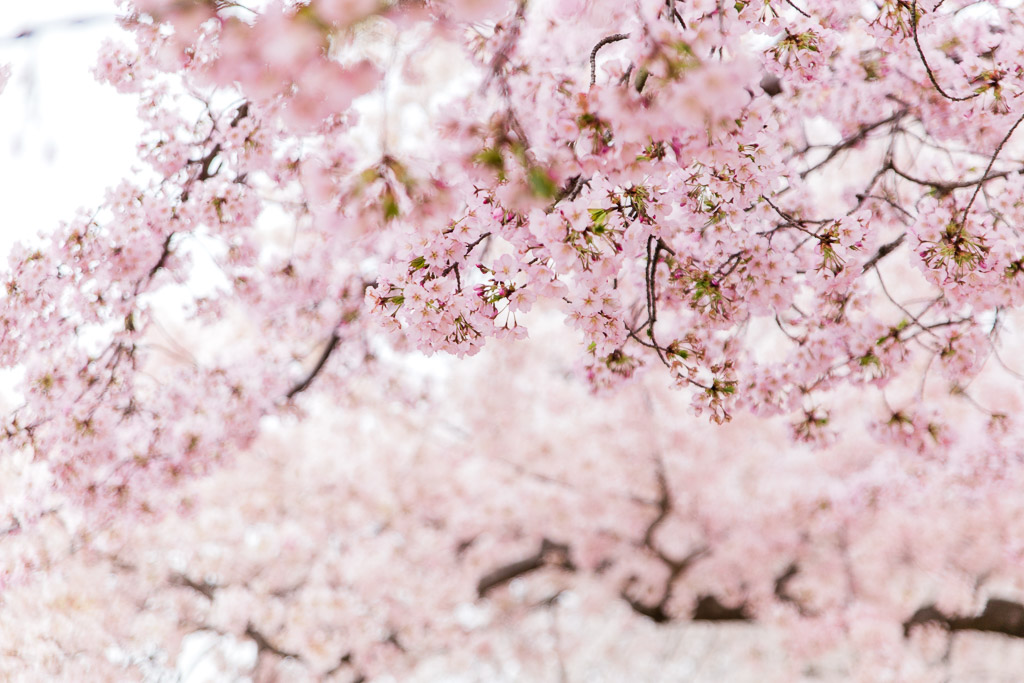 Ombre pink cherry blossom branches.