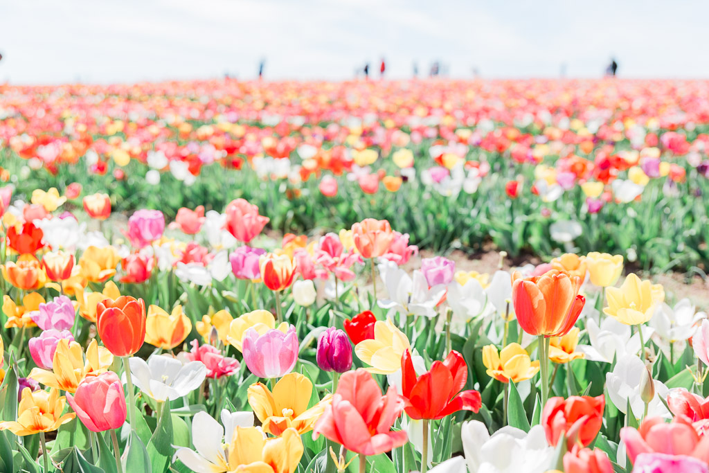 tulips4abroadwife.jpg
