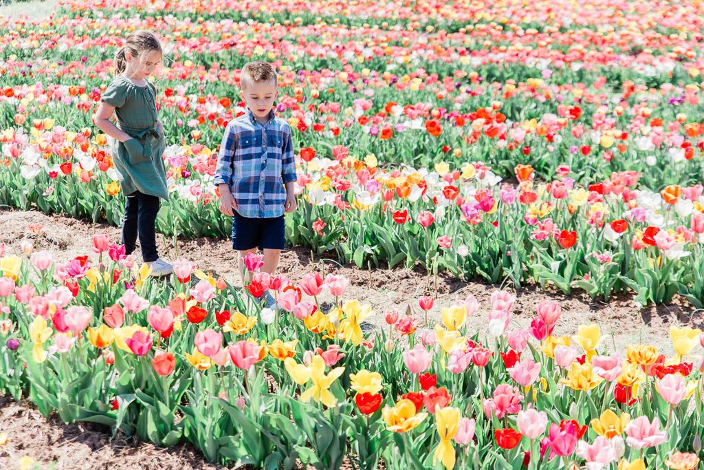 tulips2abroadwife.jpg
