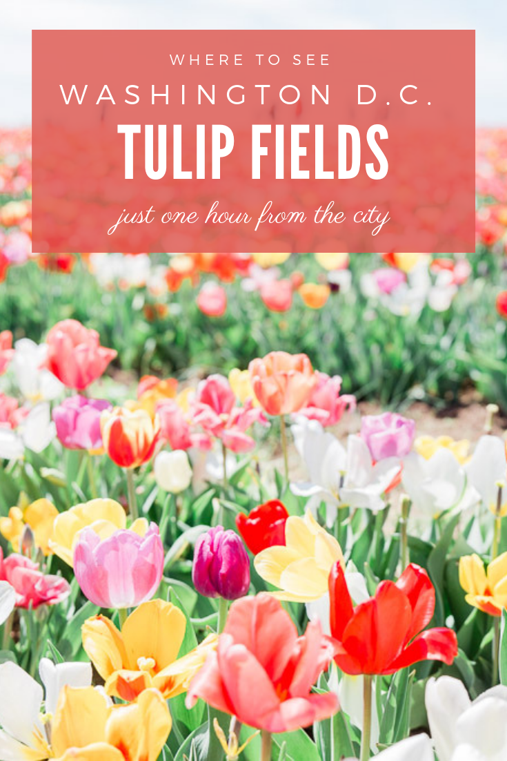 Visit beautiful tulip fields just one hour away from Washington D.C. It's an easy day trip and you can pick your  own tulips! #washingtondc #tulipfields #tulips #dcspring