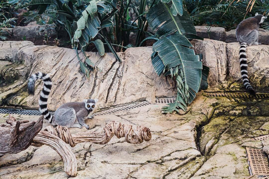 Ring-tailed Lemurs at the Biodome of Parque de Las Ciencias in Granada, Spain.