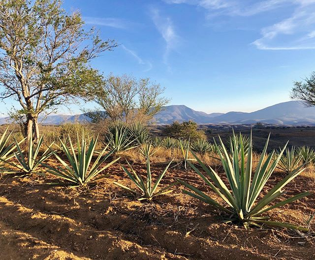 PAQUERA green label is produced with 100% Espadin on a small batch system. The plant is harvested from a 7 year growth cycle #goodthingstaketime