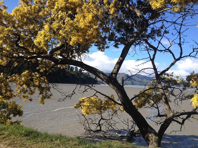 A flowering acacia tree in a barren landscape.