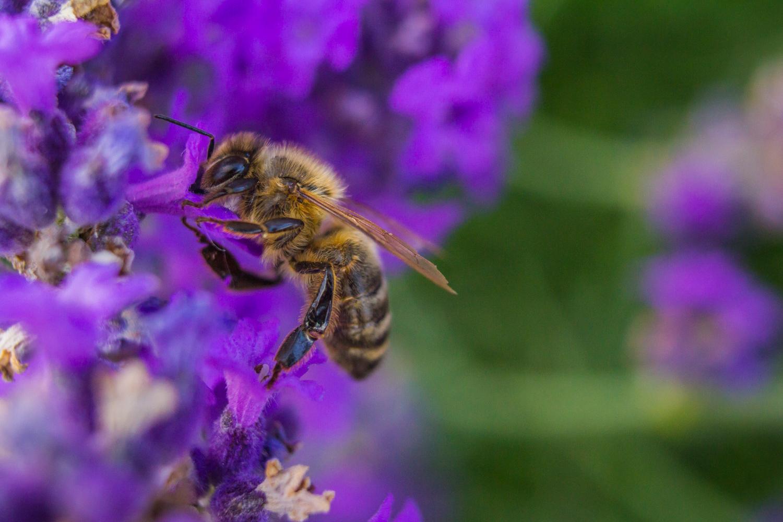 Bee Macro Vintage 28mm 001.jpg