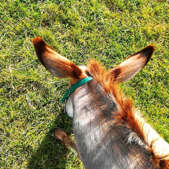 #danielEYEs #asino #asinelli #parcodisanfloriano #igerspn #igerfvg #friuliveneziagiulia #donkey