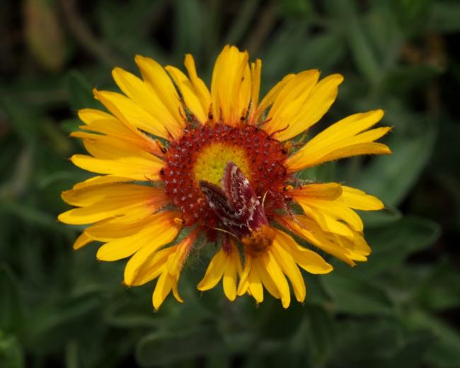 Blanketfowers ( Schinia masoni  on  Gaillardia aristate)