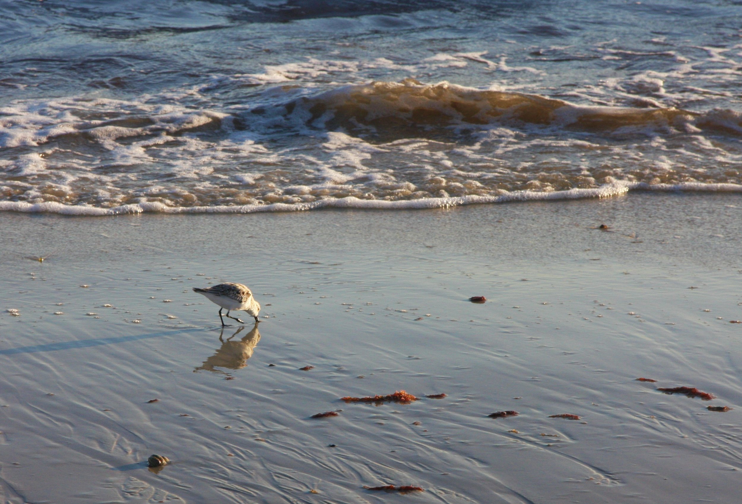 Seagull scavenging on earle road beach.JPG