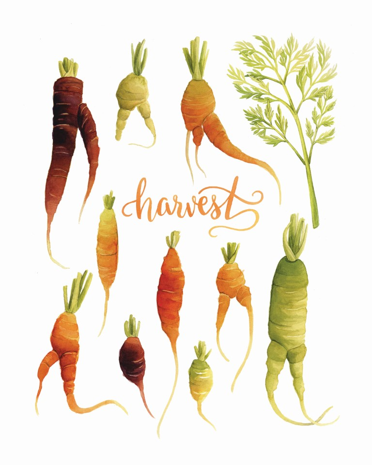 Heirloom Carrots Watercolour Illustration by Alicia's Infinity - www.aliciasinfinity.com