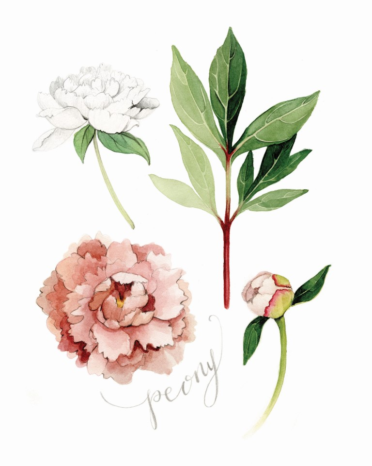 Blush Peony Watercolour Illustration by Alicia's Infinity - www.aliciasinfinity.com