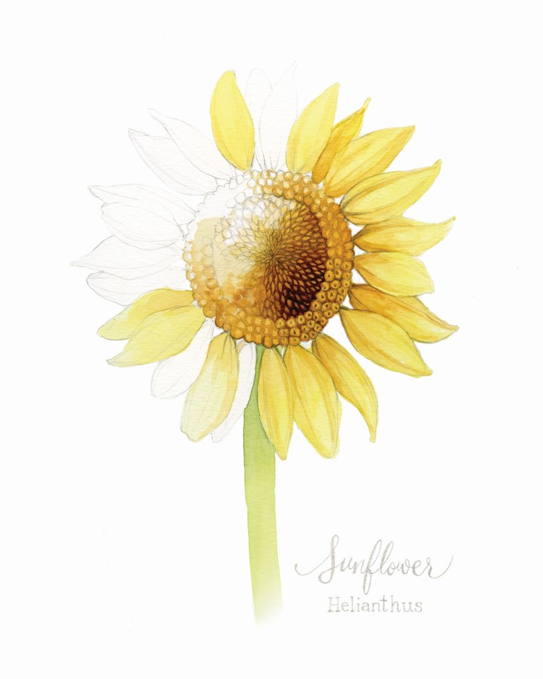 Sunflower Watercolour Illustration by Alicia's Infinity - www.aliciasinfinity.com