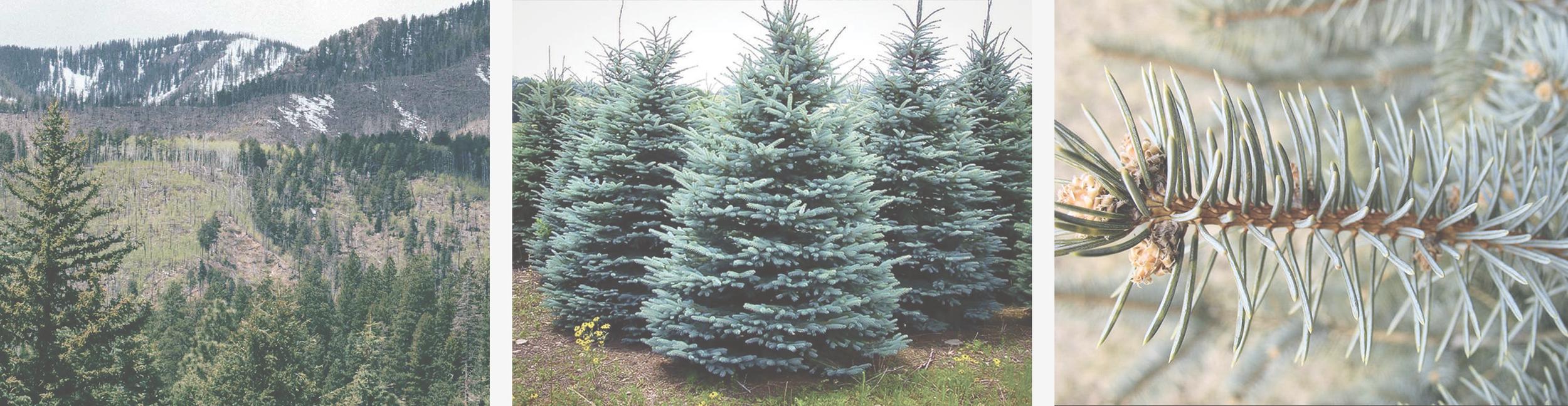Blue Spruce | Picea Pungens