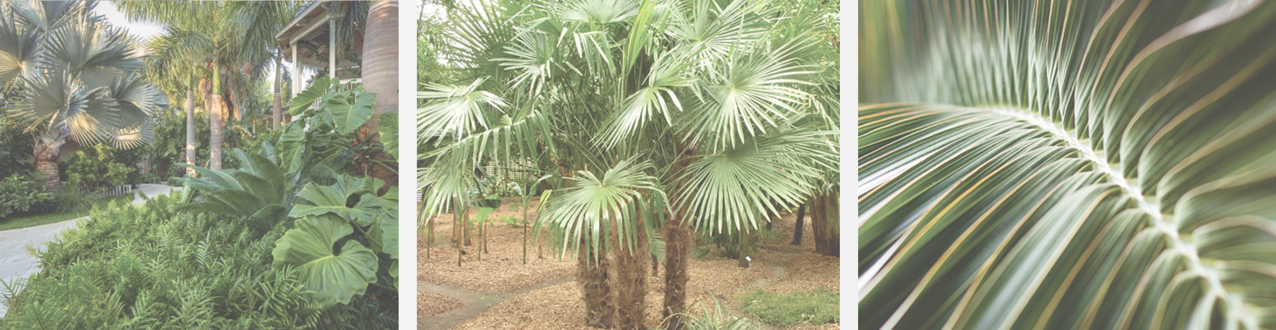 Windmill Palm |  Trachycarpus Fortunei