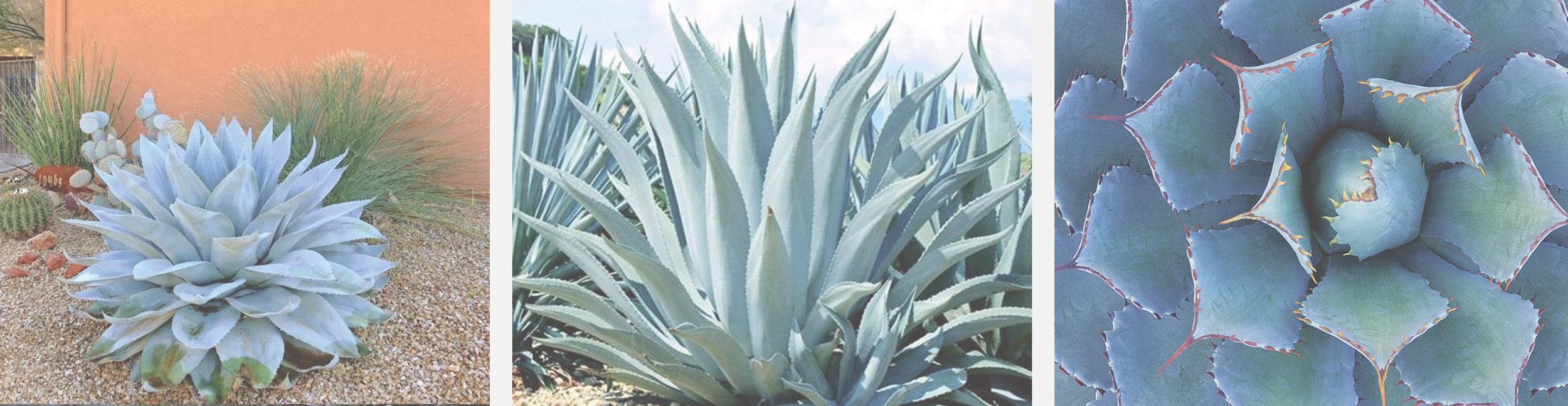 Blue Agave | Agave Tequilana