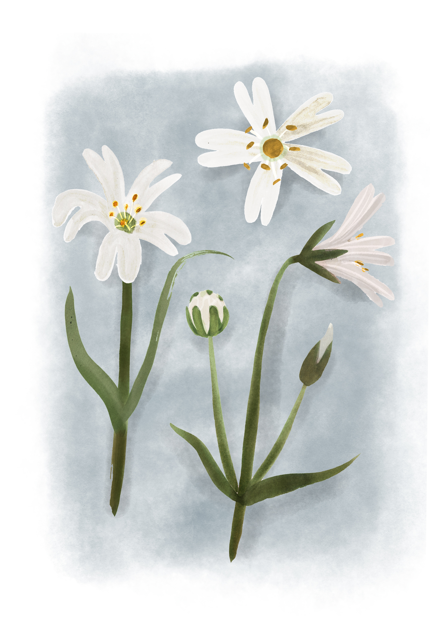Greater Stitchwort.jpg