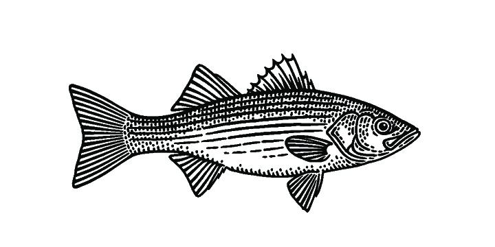 striped sea bass.jpg