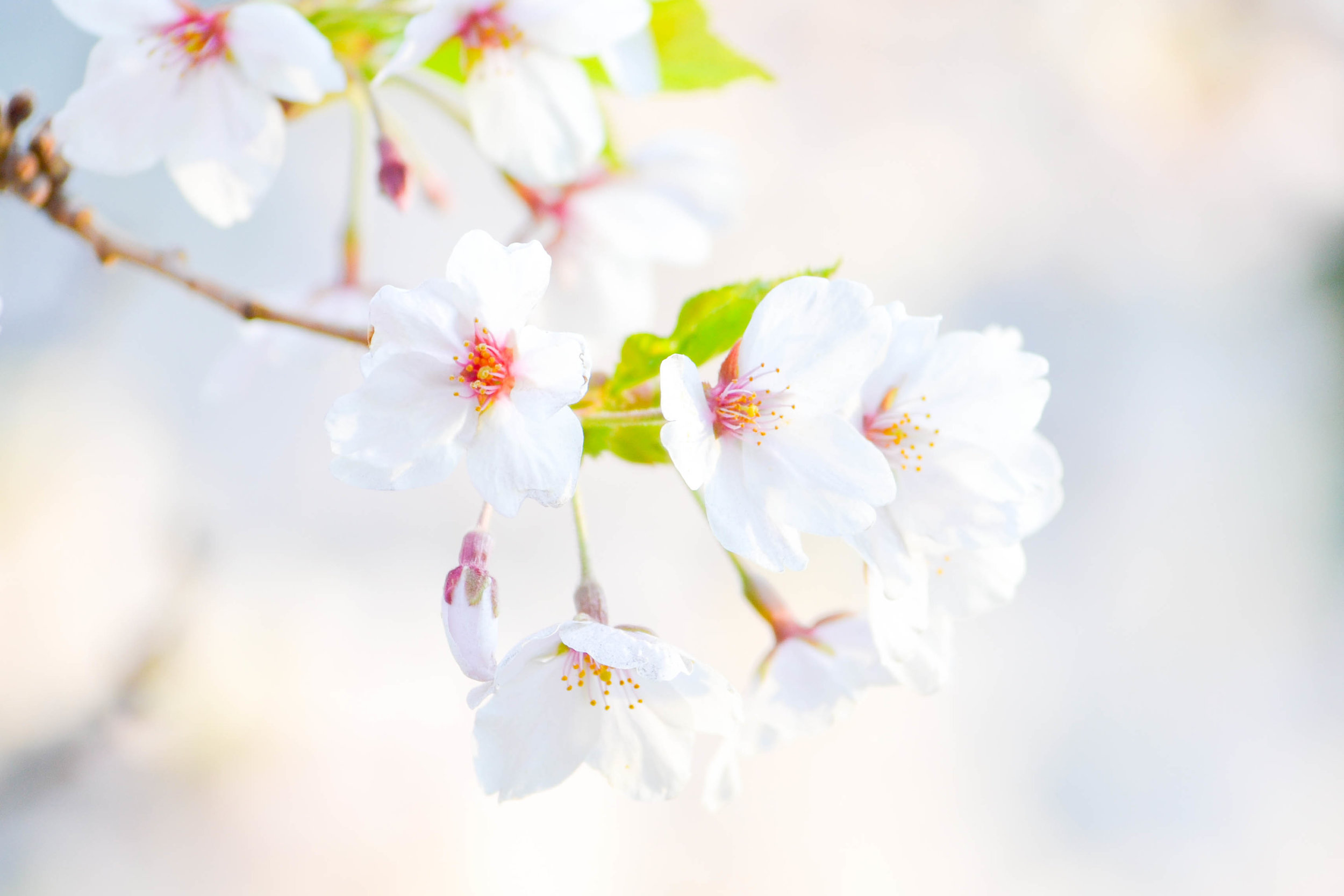 New spring blossoms. Enjoy life with emotional freedom, relieve stress, increase self confidence.
