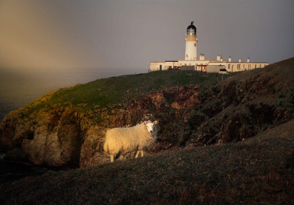 Golden Sheep, Harris