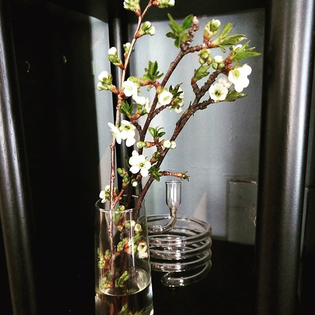 Cherry blossoms headed for sakura. The buds were closed where they showed up yesterday.  #chifoodies #chicagorestaurant #ladychefs #sakura #chicagobakery #localfarms #chicagorestaurants #eatlocal #diy #preservation
