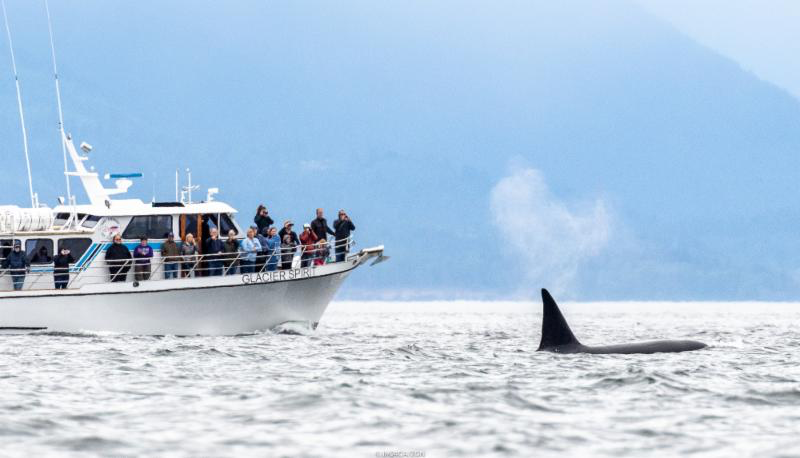 The family of killer whales made their appearance to the race course today in Victoria.- Photo (c)IM24CA/Zerogradinord
