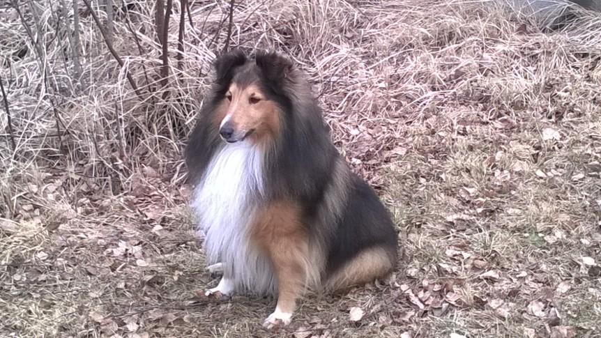 Epeli - Koiramme on settlannin lammaskoira. Paimenkoira on perhe ja laumakeskeinen ja kun se hyväksyy joukkoon, hyväksyminen on ehdotonta. Epeli on uskollinen tukijani ja ystävällinen luonteeltaan. Poikani Roope on Epelin erityinen huomion kohde.