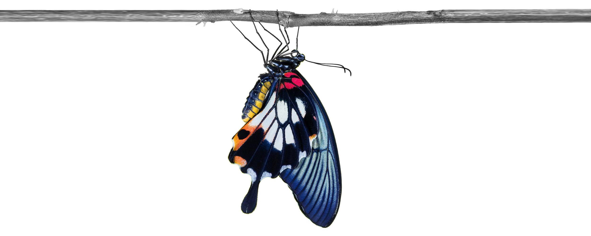 Butterflywithouttextlongerbranchshort.jpg