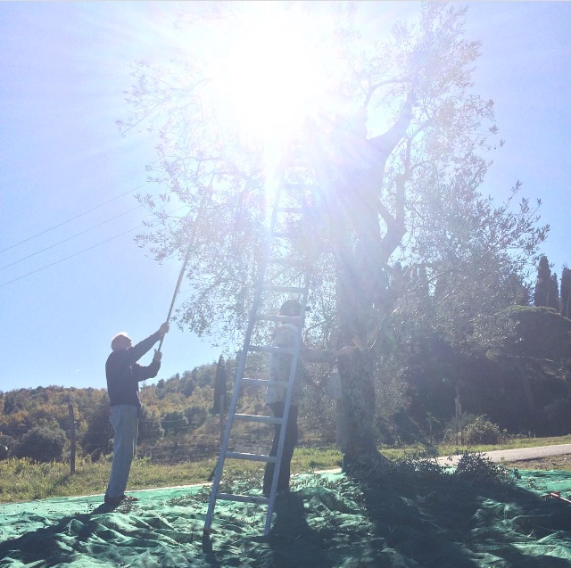 Olive harvest at Borgo La Farneta - photo by Paul Hart, October 2017