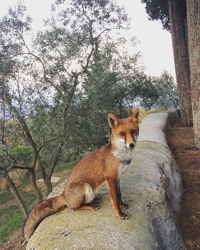 'Foxy' the friendly resident fox at Borgo La Farneta - photo by Paul Hart, October 2017