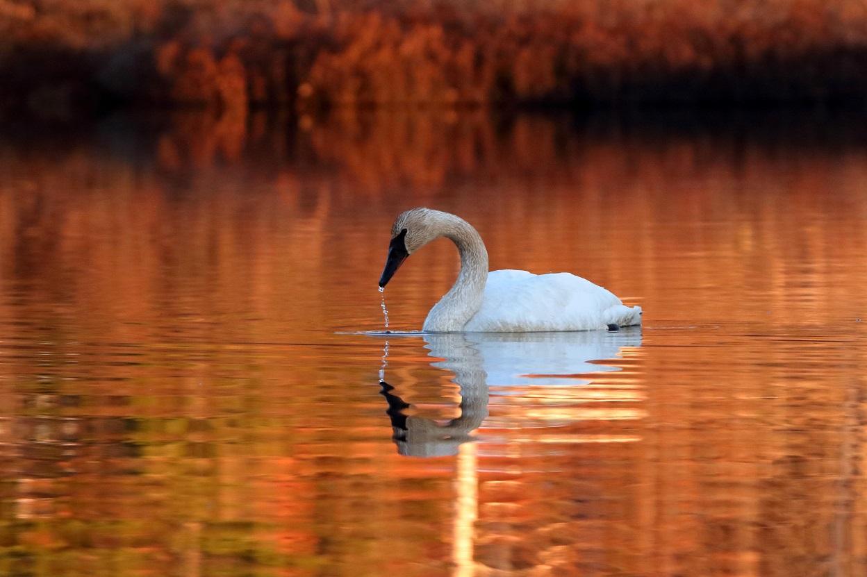 Swan at the Seney Refuge
