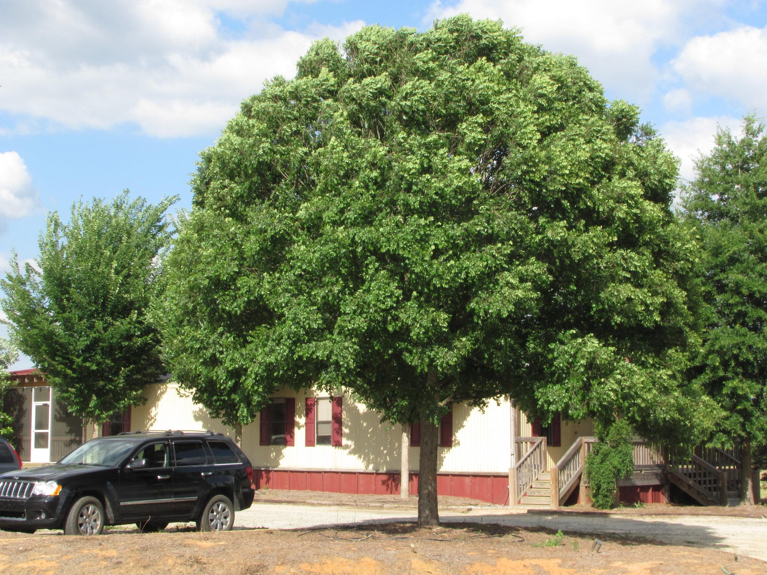 athena-classic-elm-ulmus-parvafolia-habit-3.jpg