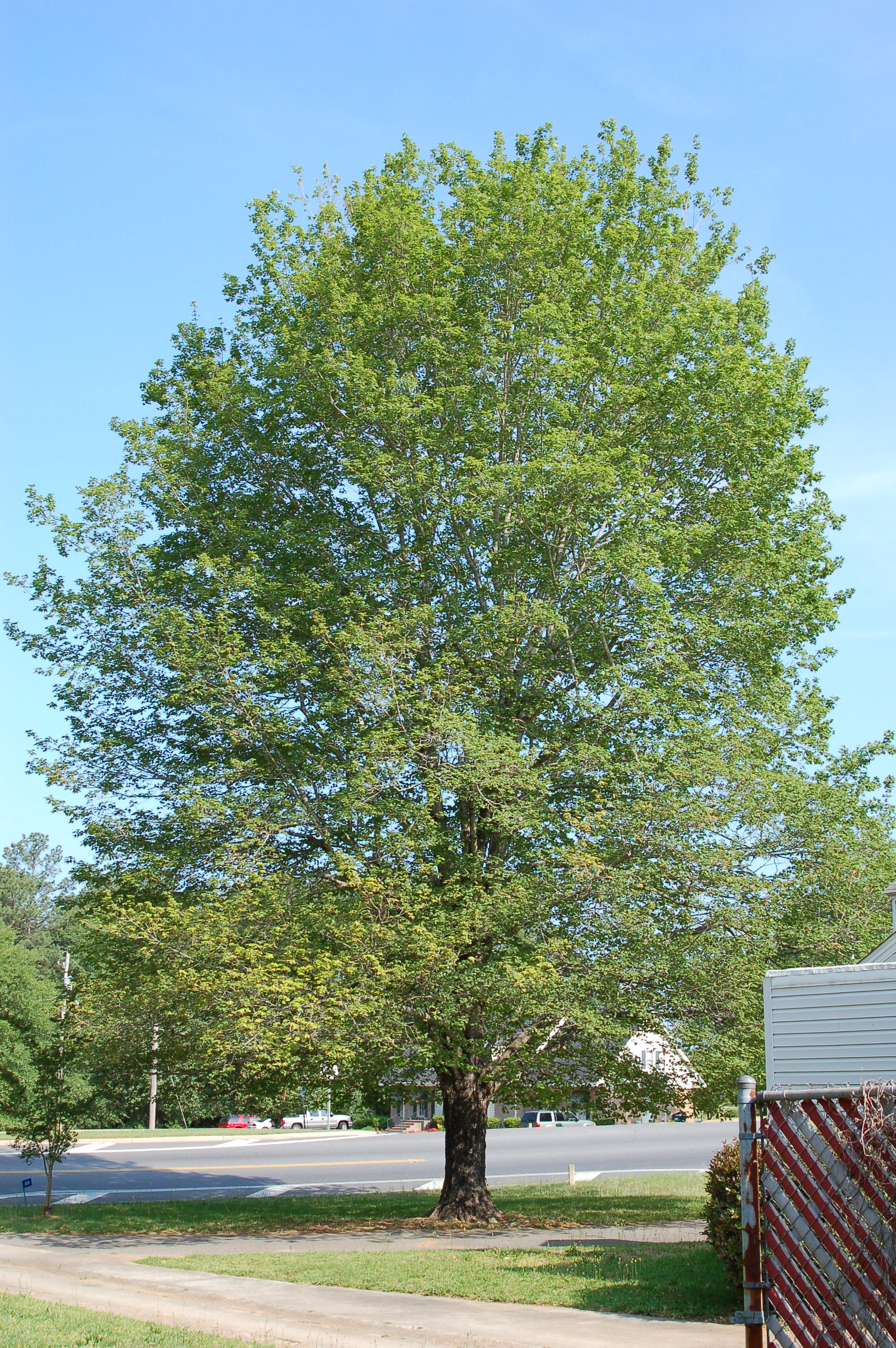 Harvest-Moon-Sugar-Maple-Acer-saccharum-habit.jpg
