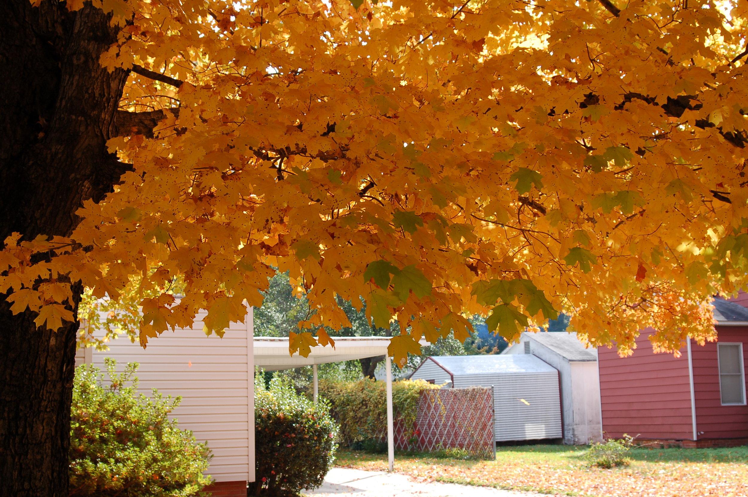 Harvest-Moon-Sugar-Maple-Acer-saccharum-fall-color-foliage-4.jpg