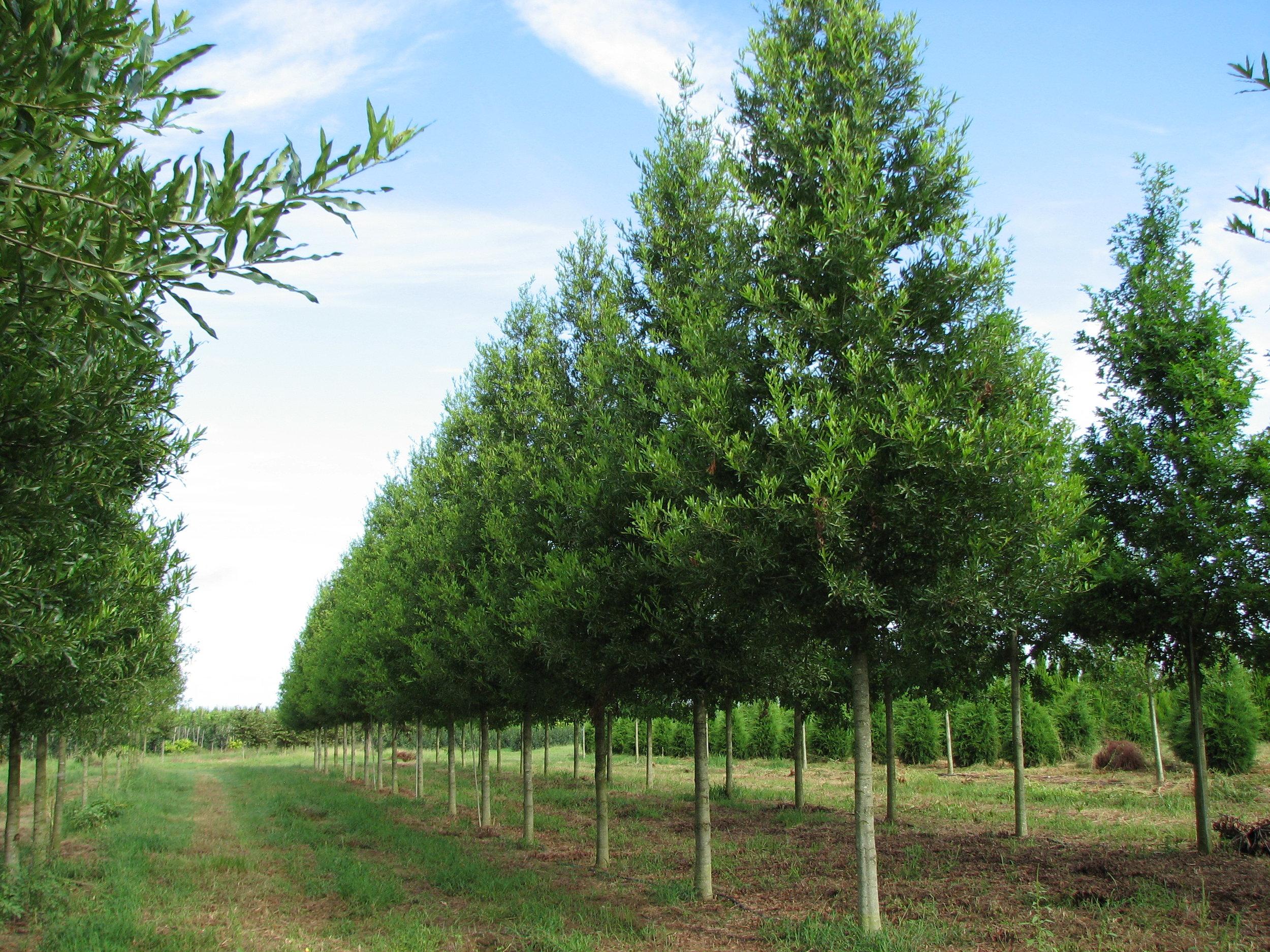 Kingpin-Willow-Oak-Quercus-phellos-row-2.jpg