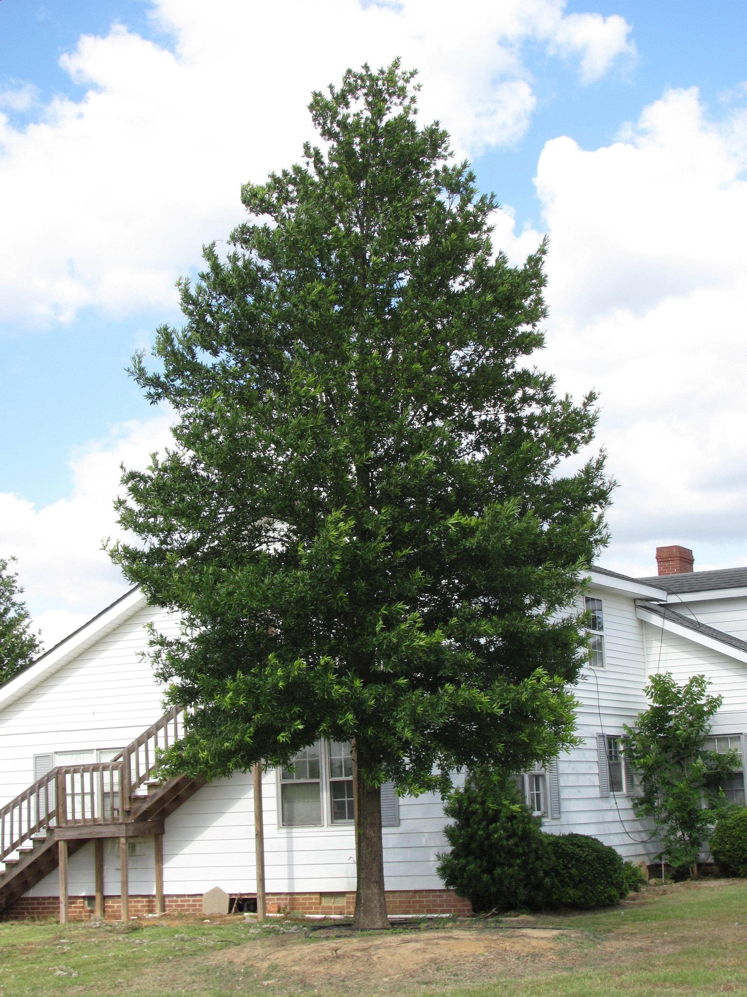 Kingpin-Willow-Oak-Quercus-phellos-habit-3.jpg
