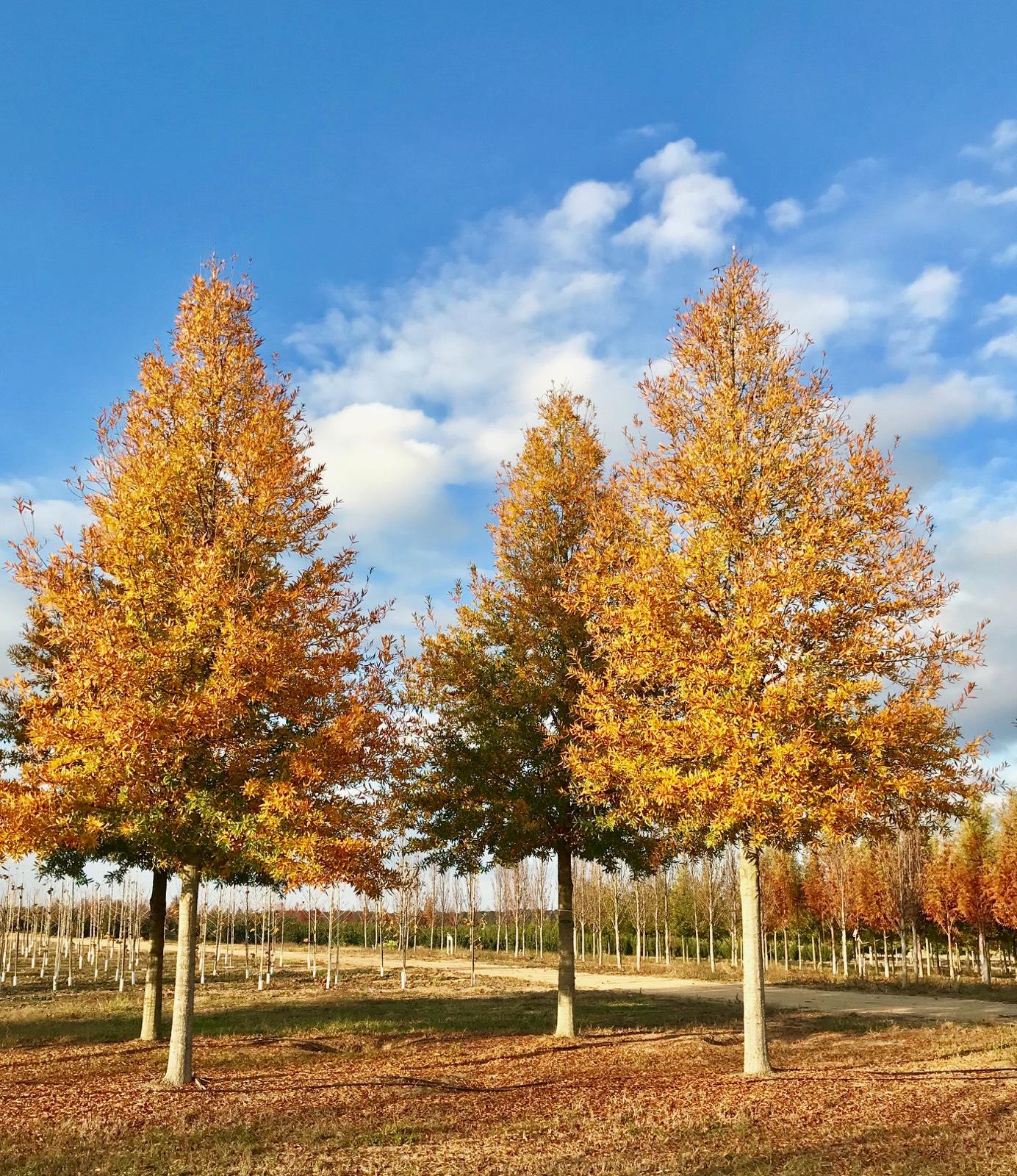 Kingpin-Willow-Oak-Quercus-phellos-fall-color-row.jpg