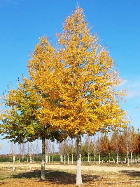 Kingpin-Willow-Oak-Quercus-phellos-fall-color-habit.jpg
