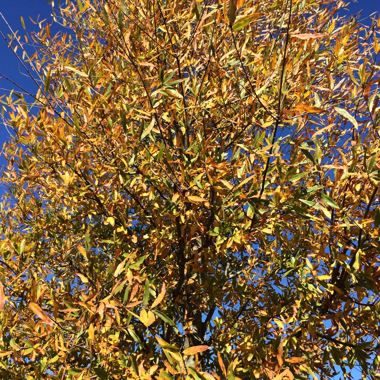 Kingpin-Willow-Oak-Quercus-phellos-fall-color-2.jpg