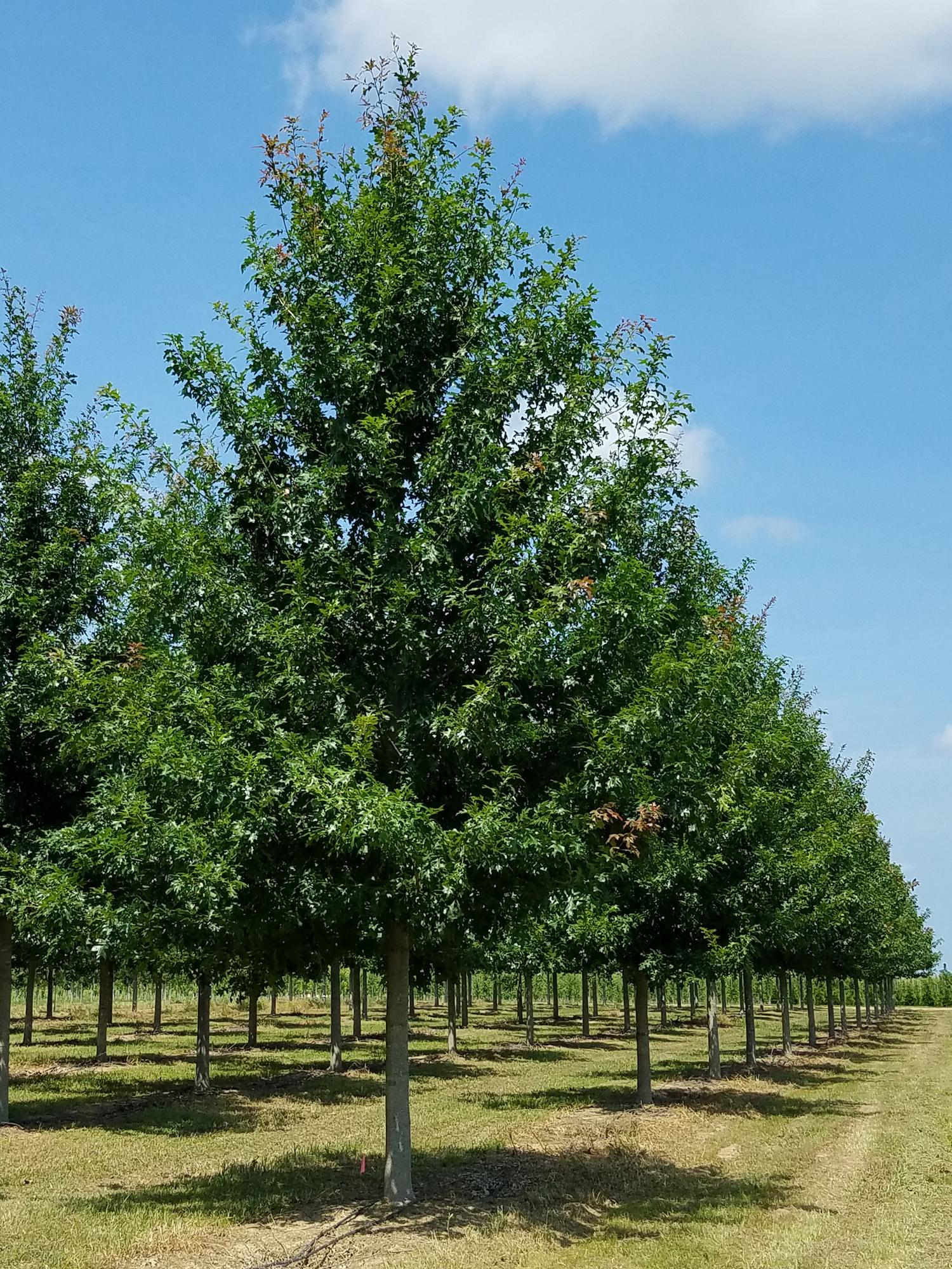 Ruby-Spring-Nuttall-Oak-Quercus-nuttallii-row.jpg