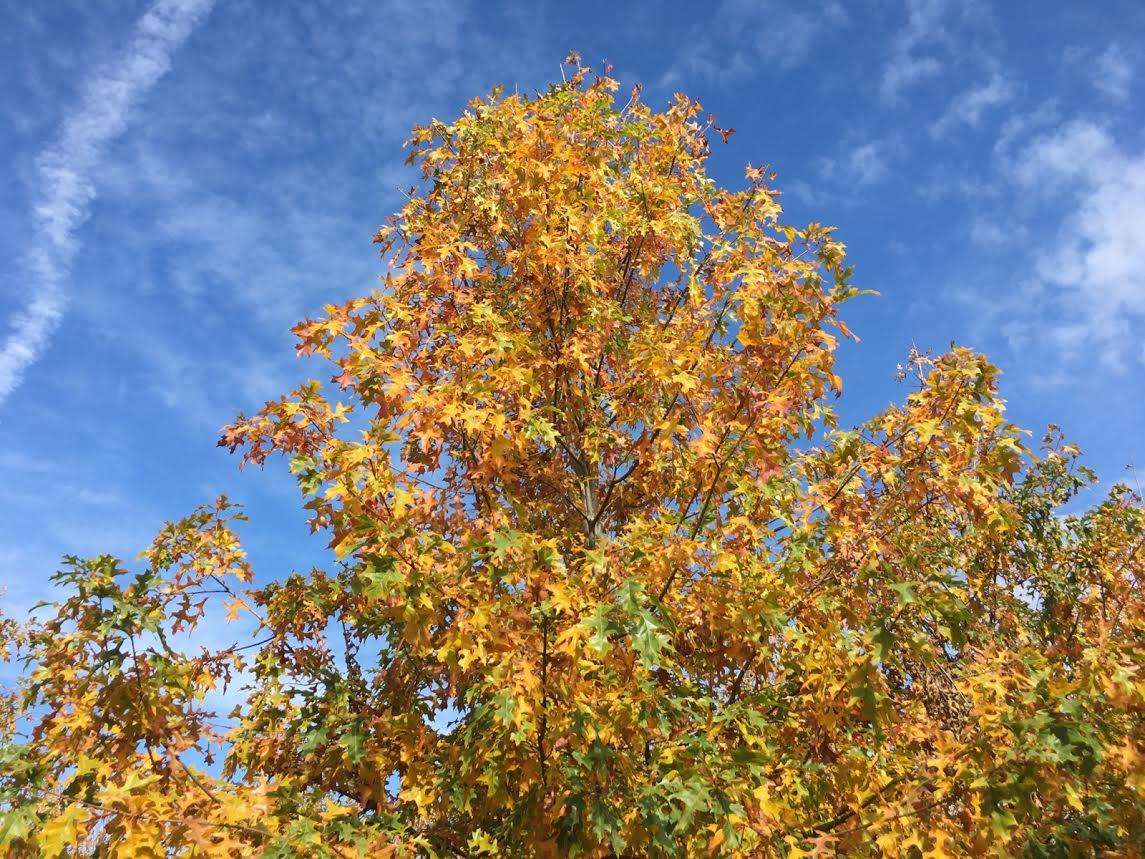 Ruby-Spring-Nuttall-Oak-Quercus-nuttallii-fall-color.jpg