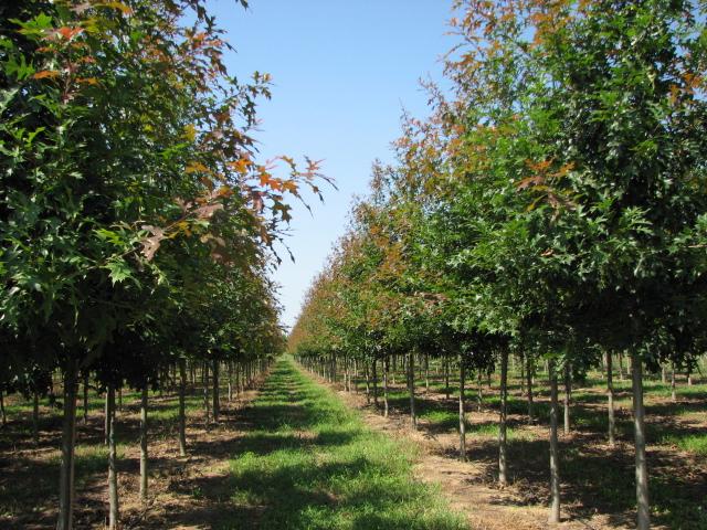 Ruby-Spring-Nuttall-Oak-Quercus-nuttallii-spring-row-2.jpg