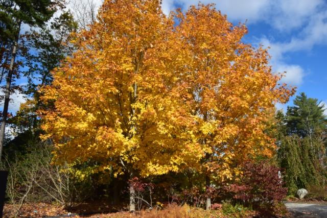 Steeple-Sugar-Maple-Acer-saccharum-fall-color-habit-4.jpg