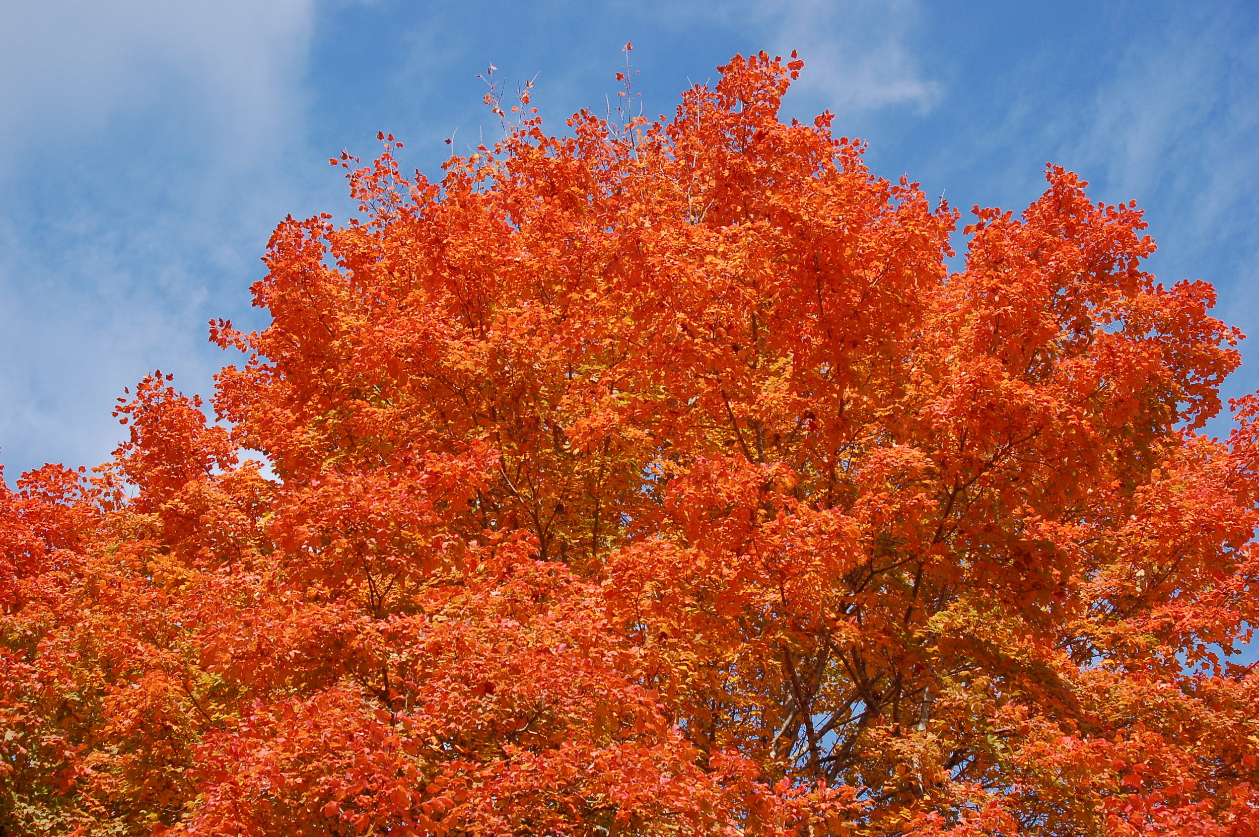 Harvest Moon® Sugar Maple -